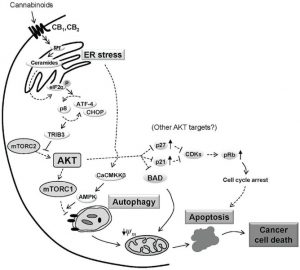 Cannabinoid-induced apoptosis